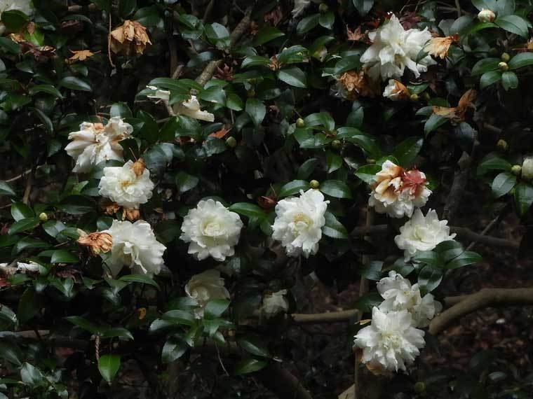 サザンカ白花