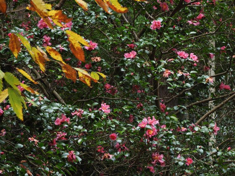 サザンカ桃色花