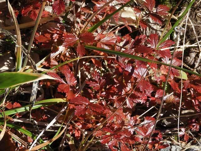 チングルマの紅葉