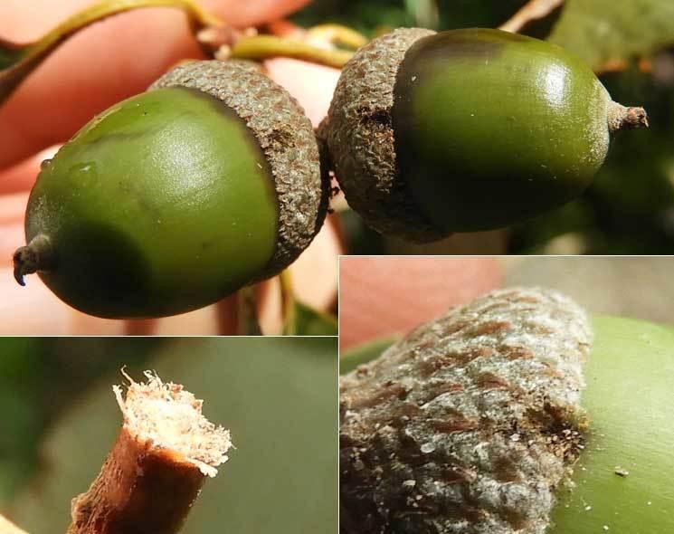 ハイイロチョッキリ産卵痕