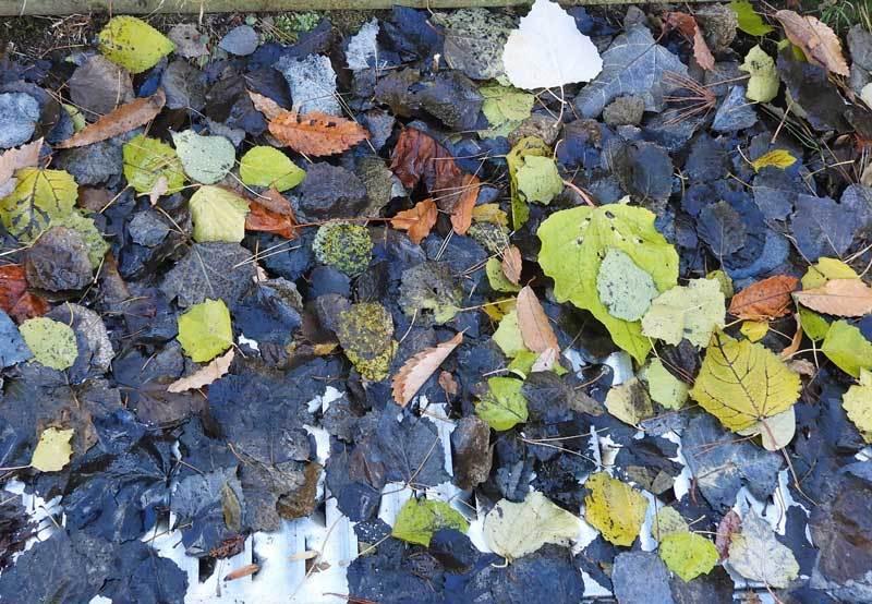 ヤマナラシの落ち葉