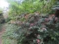 不時開花のヤマツツジ