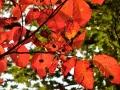 シラキの紅葉と果実