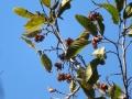 アサダの果実