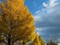 青葉山公園の銀杏並木