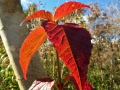 ミヤマガマズミの紅葉