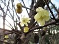 ソシンロウバイの花、蕾、実