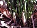春蘭の花芽