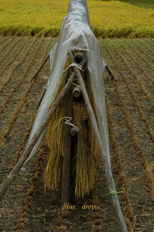 刈り取られた稲*