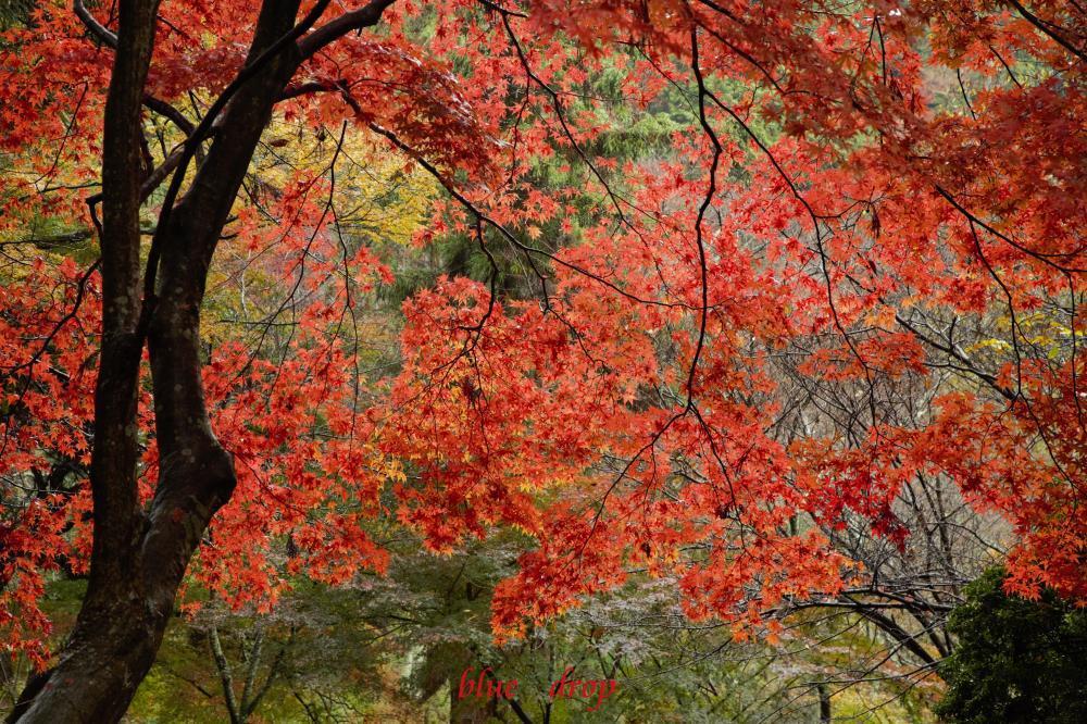 華やかな紅葉