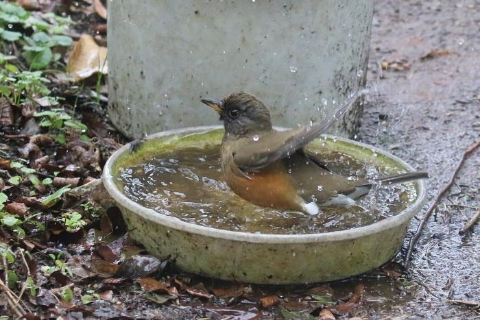 2020_01_28_9999_43アカハラ水浴び 庭-1