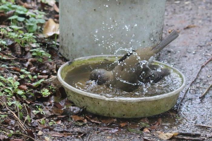 2020_01_28_9999_46アカハラ水浴び 庭-1