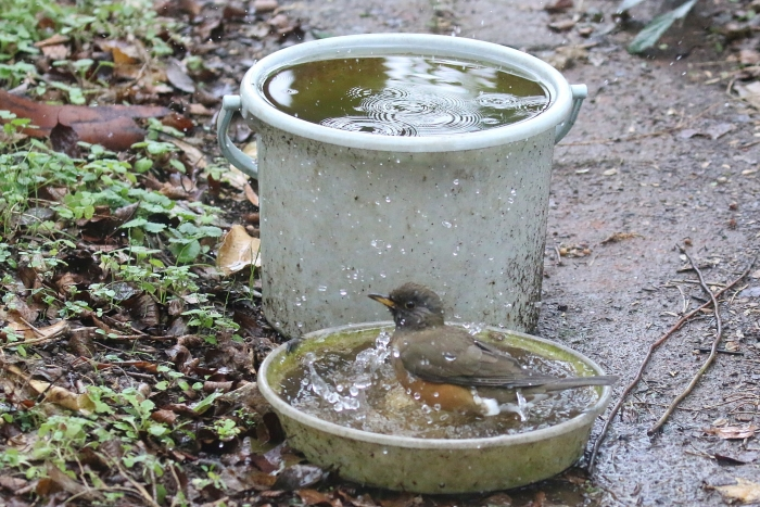 2020_01_28_9999_37アカハラ水浴び 庭-1