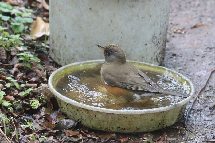 2020_01_28_9999_13アカハラ水浴び 庭-1