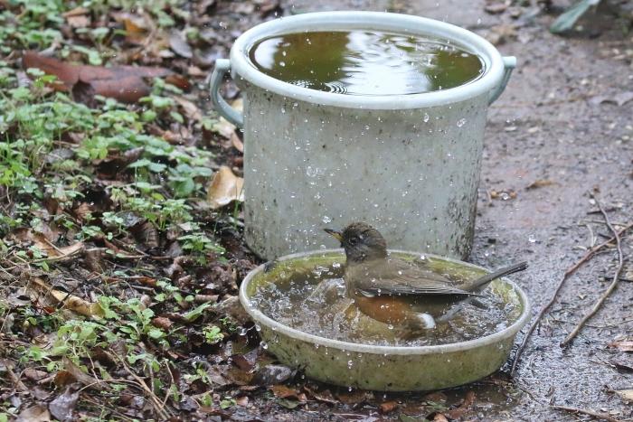 2020_01_28_9999_42アカハラ水浴び 庭-1