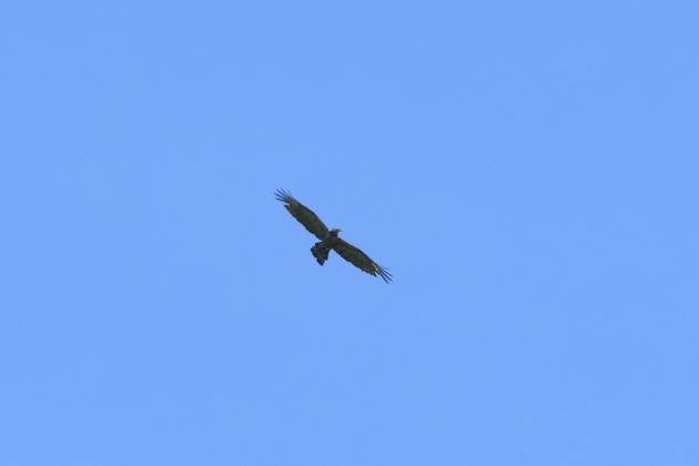 ハチクマ190907-04