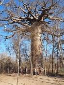 P2019919、聖なる木バオバブ