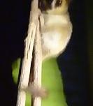 P2019921、ピグミーネズミキツネザル
