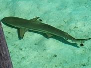 P20191111、桟橋の下に鮫も