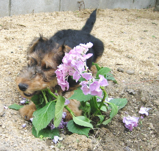 a紫陽花を退治