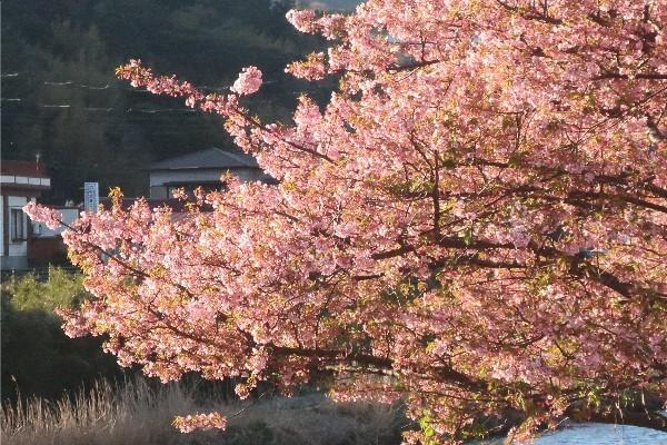 河津桜20200223-08