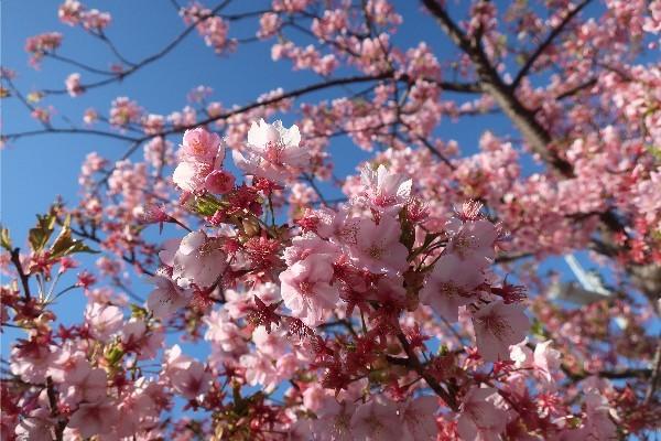 河津桜20200223-07