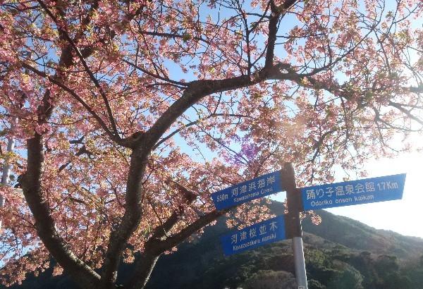 河津桜20200223-05