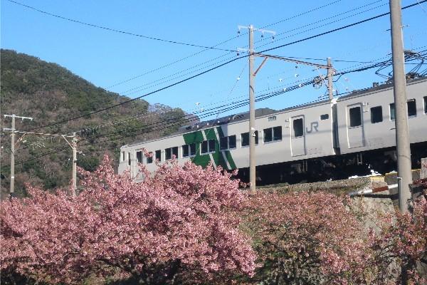 河津桜20200223-03