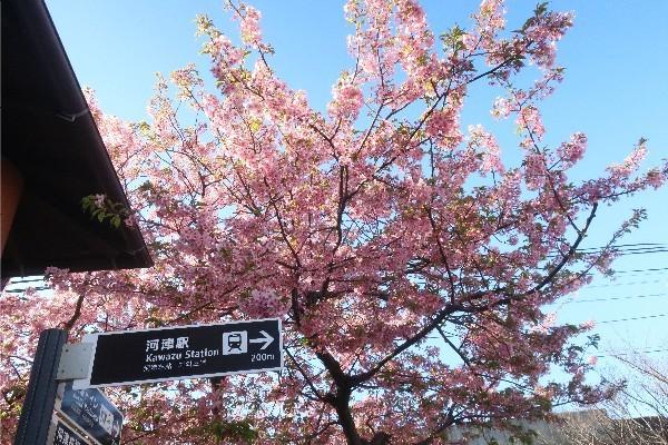 河津桜20200223-02