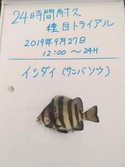 7_イシダイ(サンバソウ)