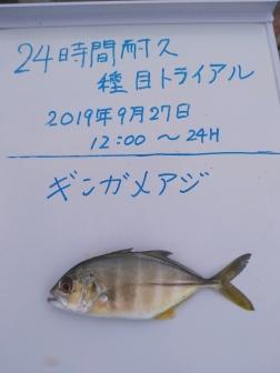 18_ギンガメアジ