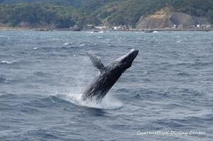 伊豆半島ザトウクジラ相模湾 (1)