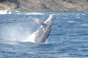 神子元島ザトウクジラ (1)