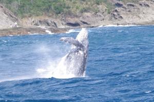 神子元島ザトウクジラ (2)