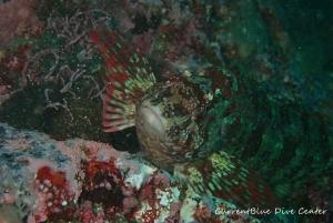 1クジメ卵魚卵東北女川ダイビングツアー (1)