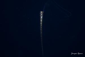 竜宮の使い,りゅうぐうのつかい,リュウグウノツカイ幼魚,リュウグウノツカイダイビング (5)
