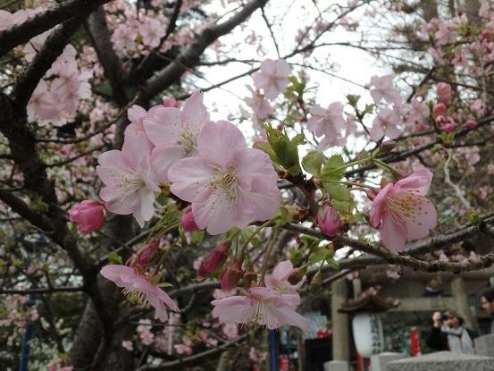 河津桜 6