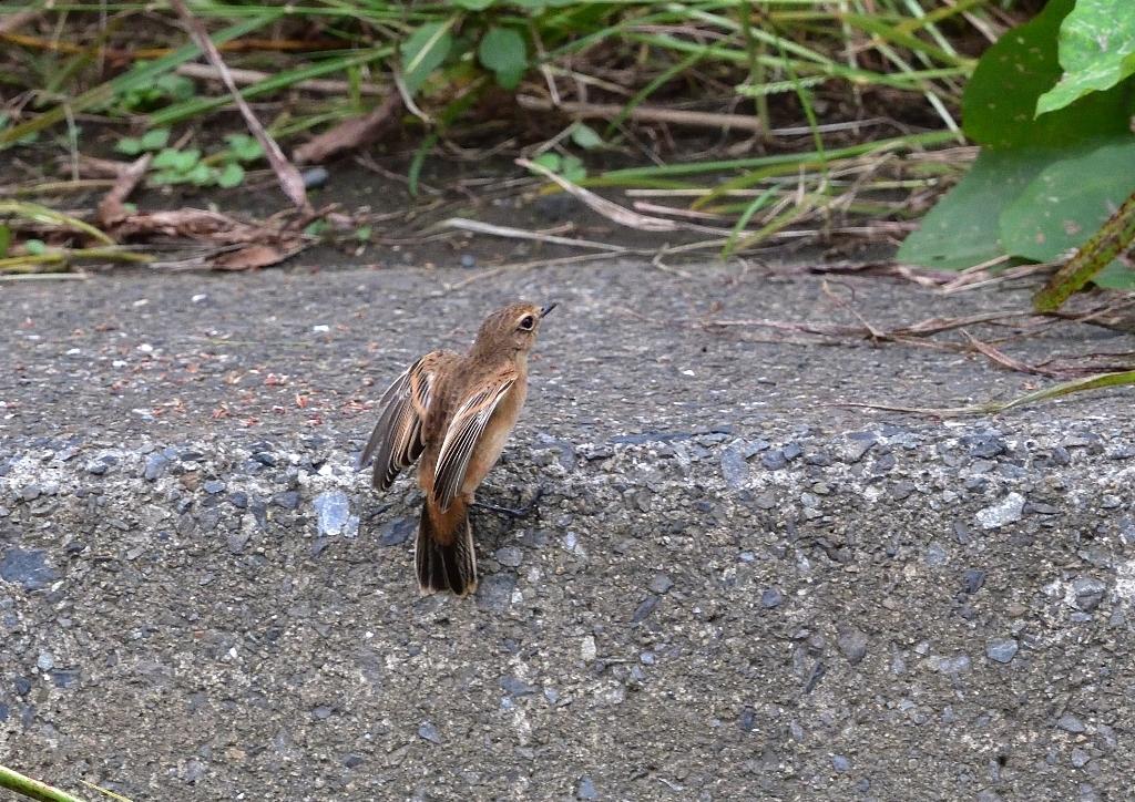 ノビタキ♂(冬羽)