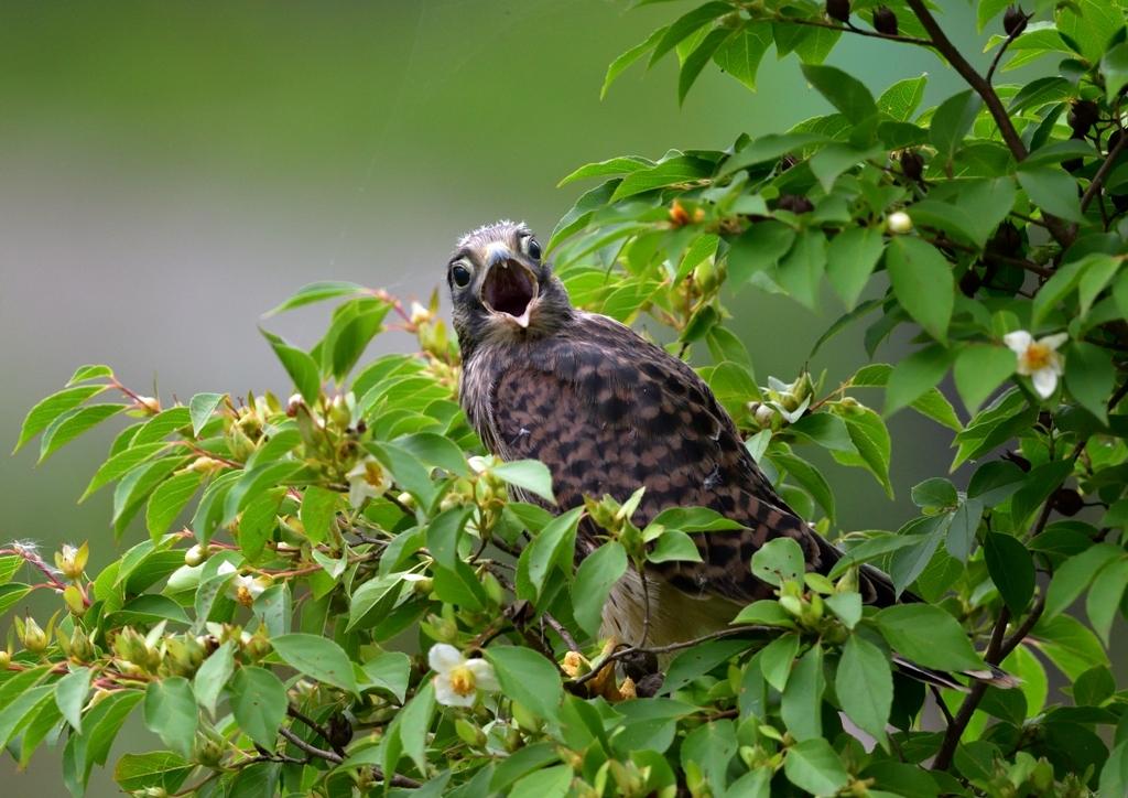 チョウゲンボウ若鳥