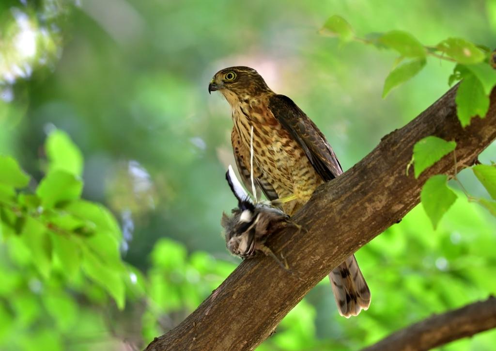 ツミの若鳥
