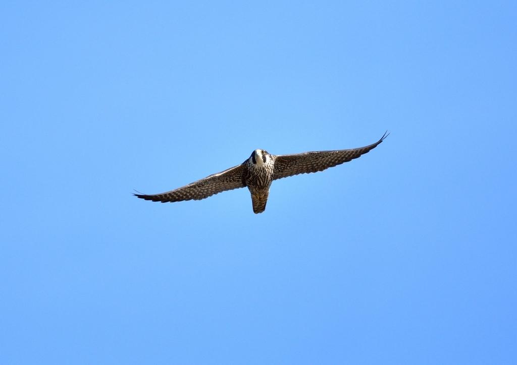 ハヤブサ若鳥