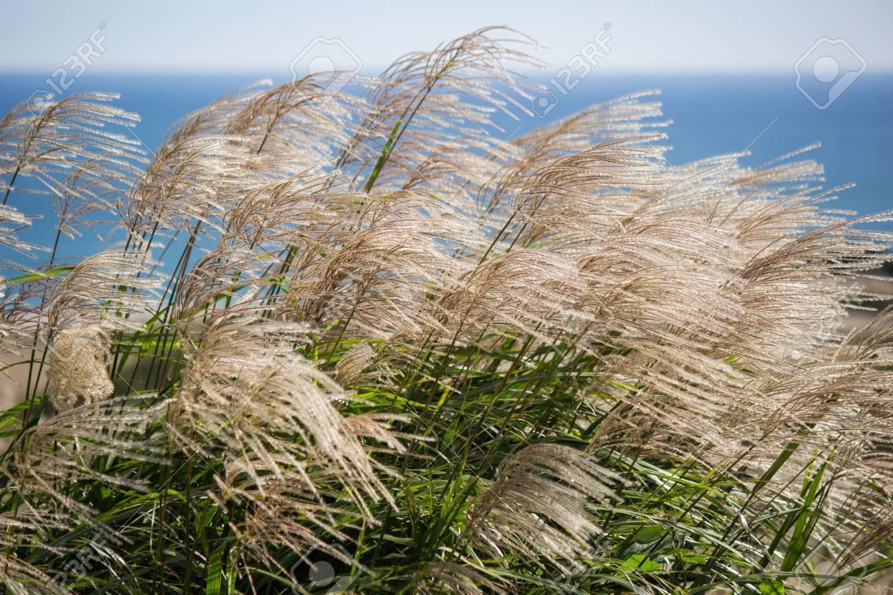 88494756-すすき-ススキ、ススキ-茨城県の風に吹かれてホトタタライすすきヨリヒメ