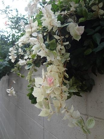 ブーゲンビリア白