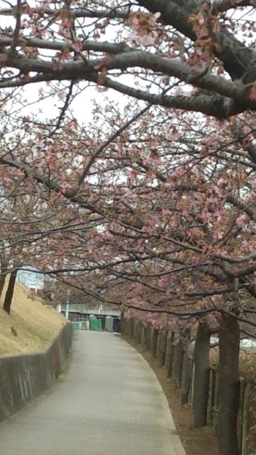 カワズ桜_p