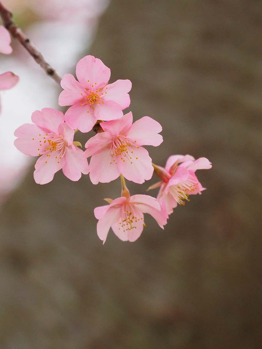 河津桜2020年2月1