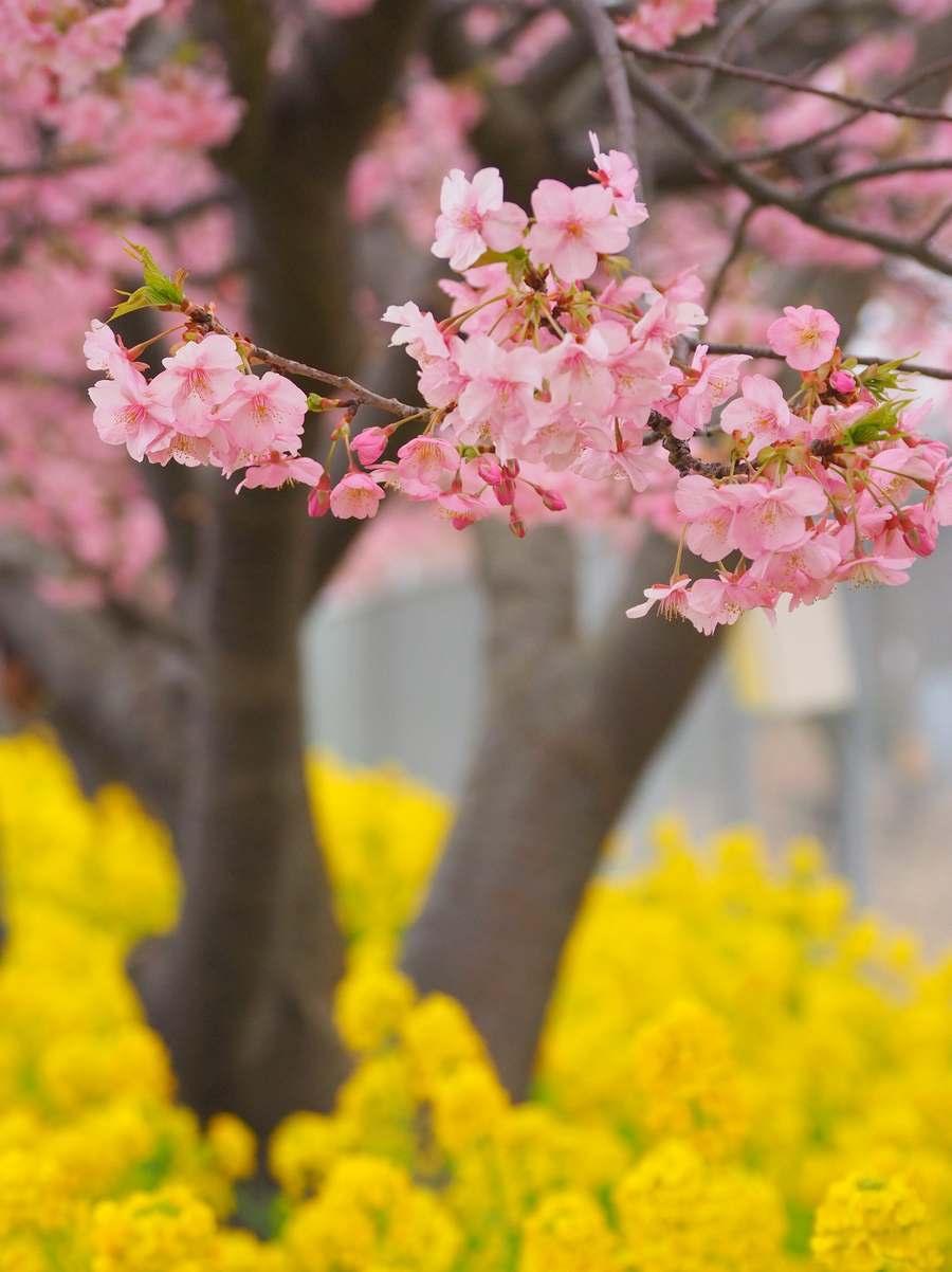 河津桜2020年2月2