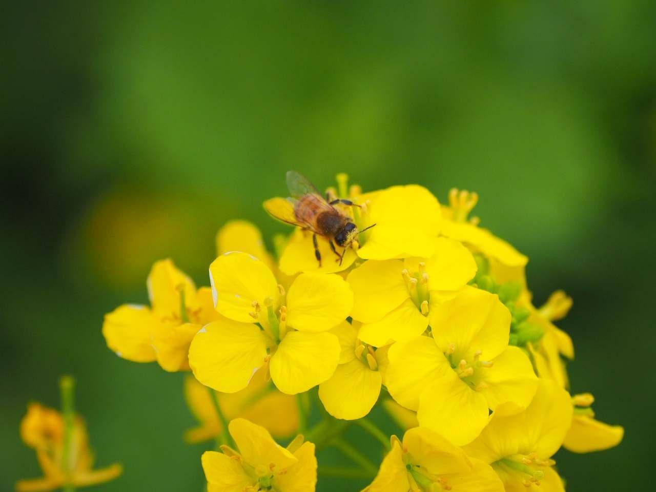 河津桜の時の菜の花