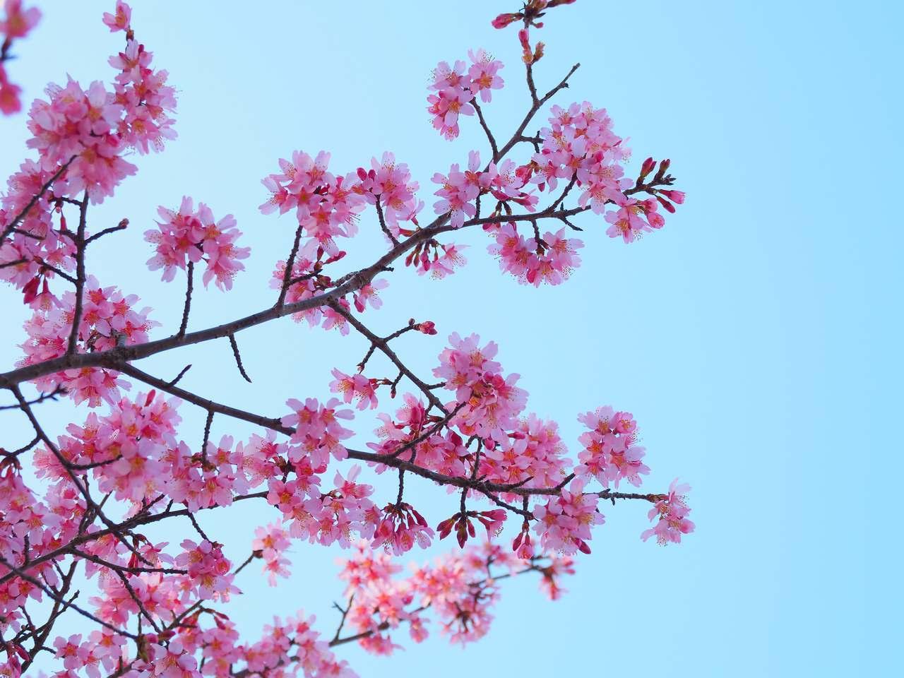 おかめ桜2020年2月