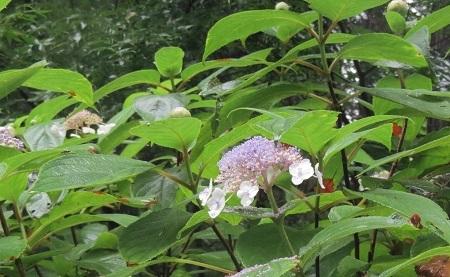 タマアジサイVC190823