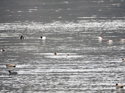 写真1:湖面の水鳥の様子